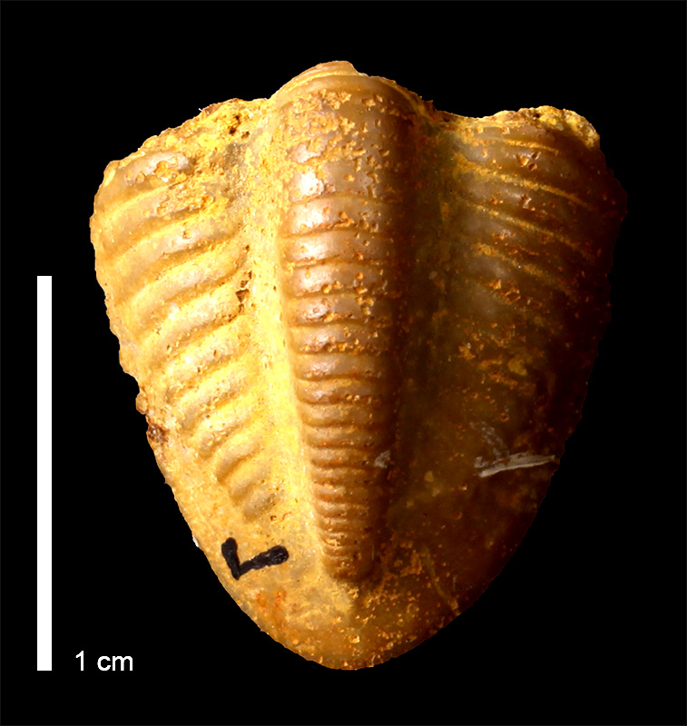 <i>Ameura missouriensis</i> from the Deer Creek Limestone of Douglas County, Kansas (KUMIP 146475).