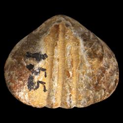 Leiorhynchus rockymontanus