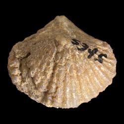 Spirifer rockymontanus