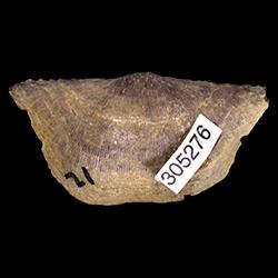 Chonetes puebloensis