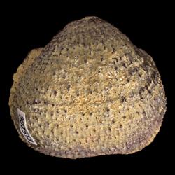 Echinoconchidae