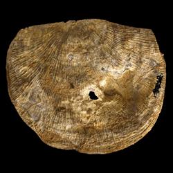 Orthotetidae