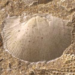 Schuchertellidae