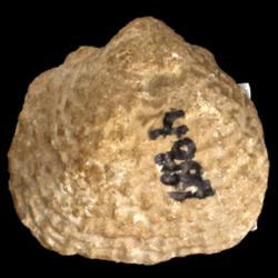 Strophalosiidae