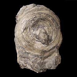 Orbiculoidea convexa