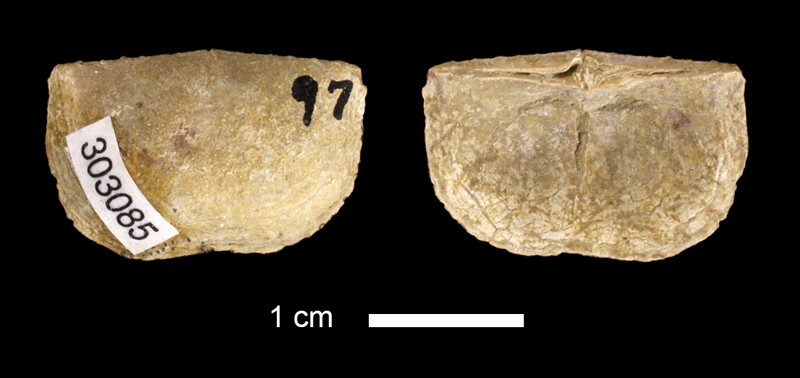 <i>Chonetes dominus</i> from the Marble Falls Limestone of San Saba County, Texas (KUMIP 303085).