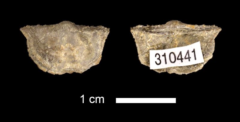 <i>Chonetina plebeia</i> from the Wann Fm. of Washington County, Oklahoma (KUMIP 310441).