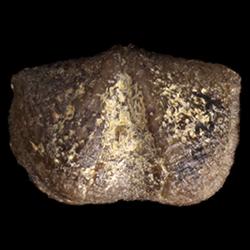 Chonetina primitiva