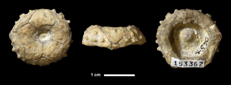 <i>Delocrinus granulosus</i> from the Drum Limestone of Montgomery County, Kansas (KUMIP 153362).