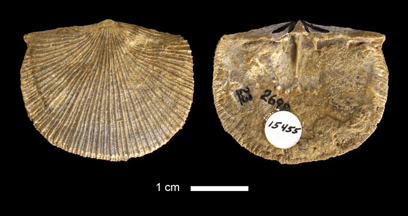 <i>Derbyia sp.</i> from the Lenapah Limestone of Montgomery County, Kansas (KUMIP 15455).