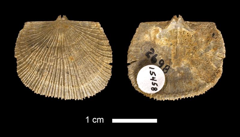 <i>Derbyia sp.</i> from the Lenapah Limestone of Montgomery County, Kansas (KUMIP 15458).