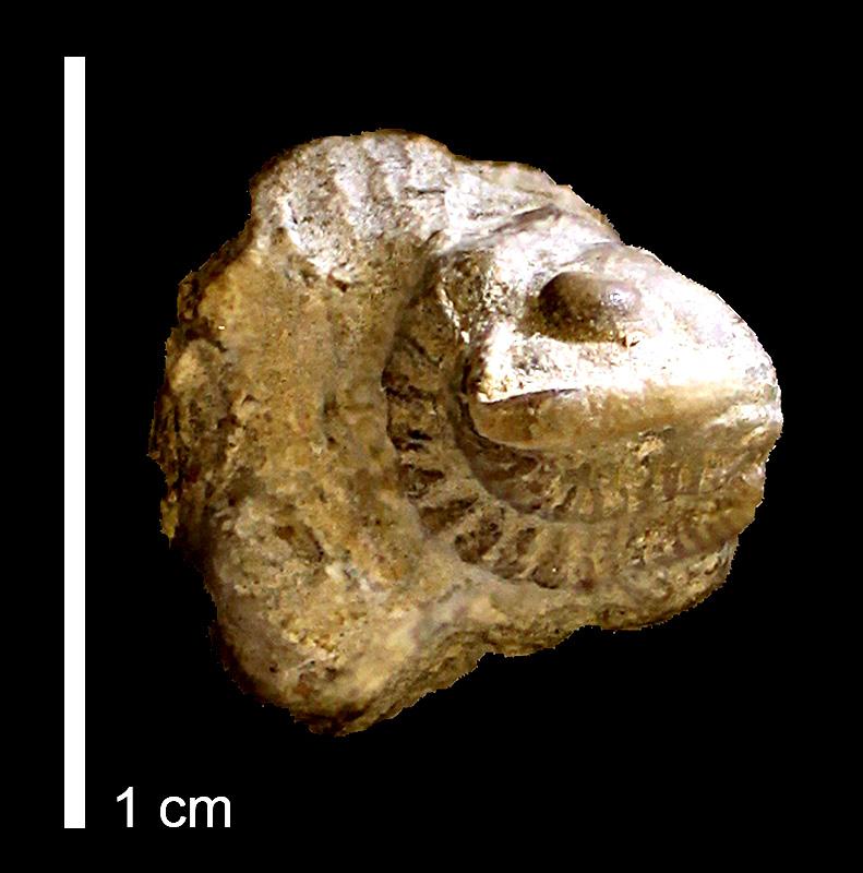 <i>Ditomopyge decurtata</i> from the Oread Limestone of Osage County, Kansas (KUMIP 146313).