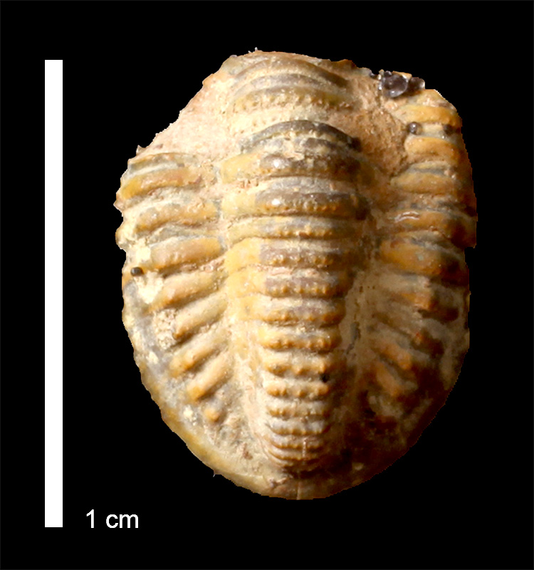 <i>Ditomopyge scitula</i> from the Salesville Shale of Palo Pinto County, Texas (KUMIP 85893).