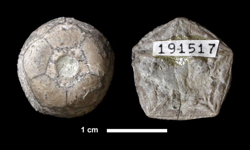 <i>Erisocrinus typus</i> from the Plattsburg Limestone of Wilson County, Kansas (KUMIP 191517).