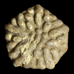 Eupachycrinidae