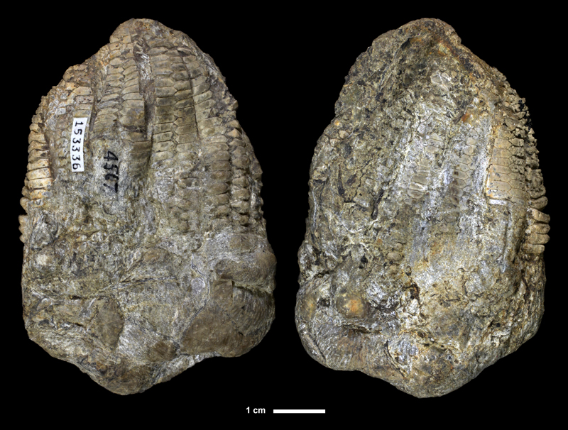 <i>Graffhamicrinus magnificus</i> from the Lawrence Fm. of Franklin County, Kansas (KUMIP 153336).
