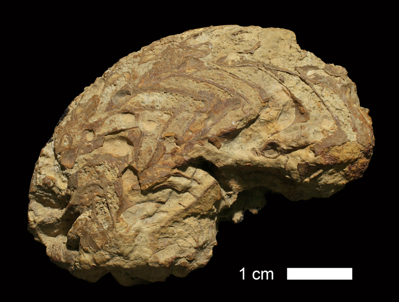 <i>Neodimorphoceras texanum</i> from the Graham Fm. of Jack County, Texas (KUMIP 151229).
