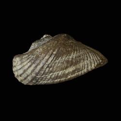 Conocardium parrishi