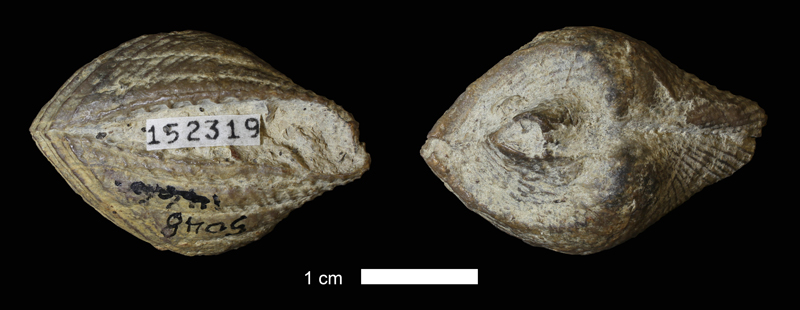 <i>Conocardium parrishi</i> from the Haragan Shale of Eastland County, Texas (KUMIP 152319).