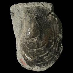 Pterioida