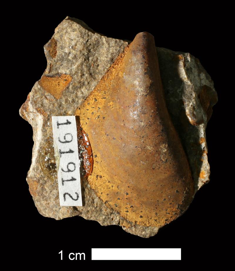 <i>Septimyalina scitula</i> from the Plattsburg Limestone of Franklin County, Kansas (KUMIP 191912).