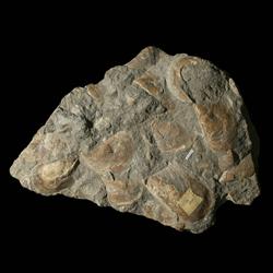 Myalina glossoidea