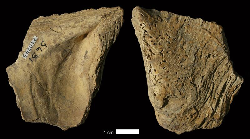 <i>Myalina (Myalina) miopetina</i> from an unknown formation of Throckmorton County, Texas (KUMIP 210795).