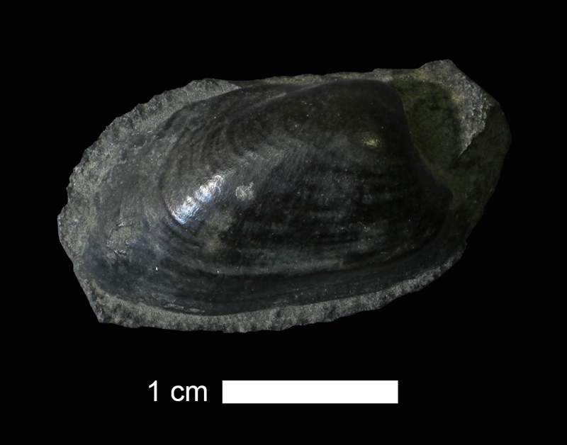 <i>Cardiomorpha missouriensis</i> from the Coal Measures of McDonough County, Illinois (KUMIP 213392).