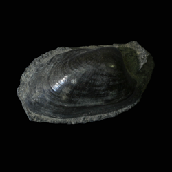 Cardiomorpha missouriensis