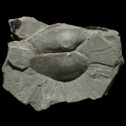 Malletiidae