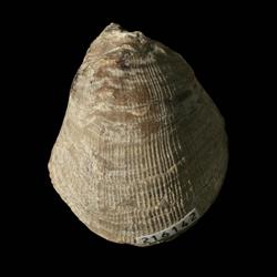 Pseudomonotis equistriata