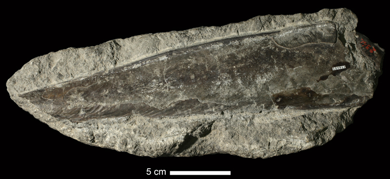 <i>Pinna subspatulata</i> from the Coal Measures of Leavenworth County, Kansas (KUMIP 216485).