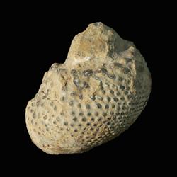 Trachydomia cf. wheeleri