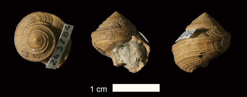 <i>Glabrocingulum grayvillense</i> from the Stanton Limestone of Washington County, Oklahoma (KUMIP 243784).