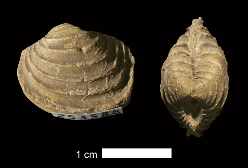<i>Astartella varica</i> from the Salesville Shale of Palo Pinto County, Texas (KUMIP 253588).