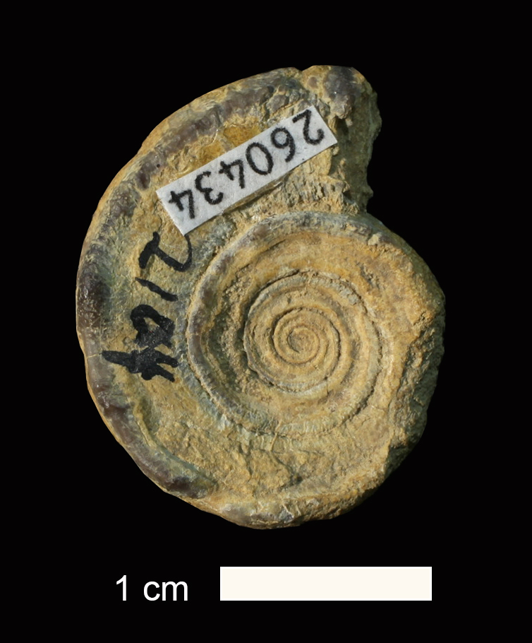 <i>Amphiscapha subsulcata</i> from the Holdenville Shale of Okmulgee County, Oklahoma (KUMIP 260434).