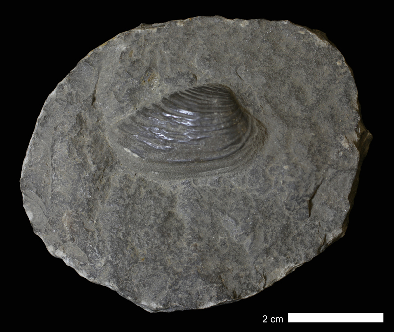 <i>Wilkingia granosa</i> from the Coal Measures of Jackson County, Missouri (KUMIP 261099).