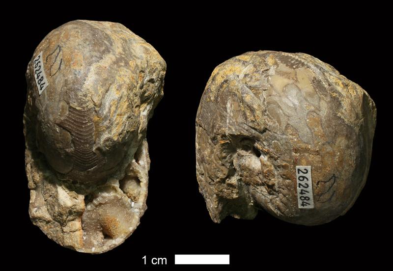 <i>Schistoceras missouriense</i> from the Drum Limestone of Montgomery County, Kansas (KUMIP 262484).