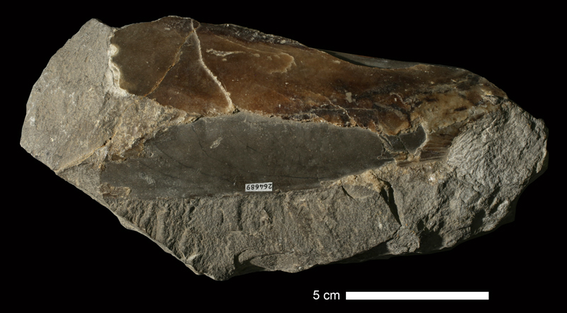 <i>Pinna peracuta</i> from an unknown formation of Wyandotte County, Kansas (KUMIP 264689).