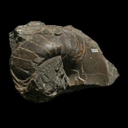 Koninckioceratidae