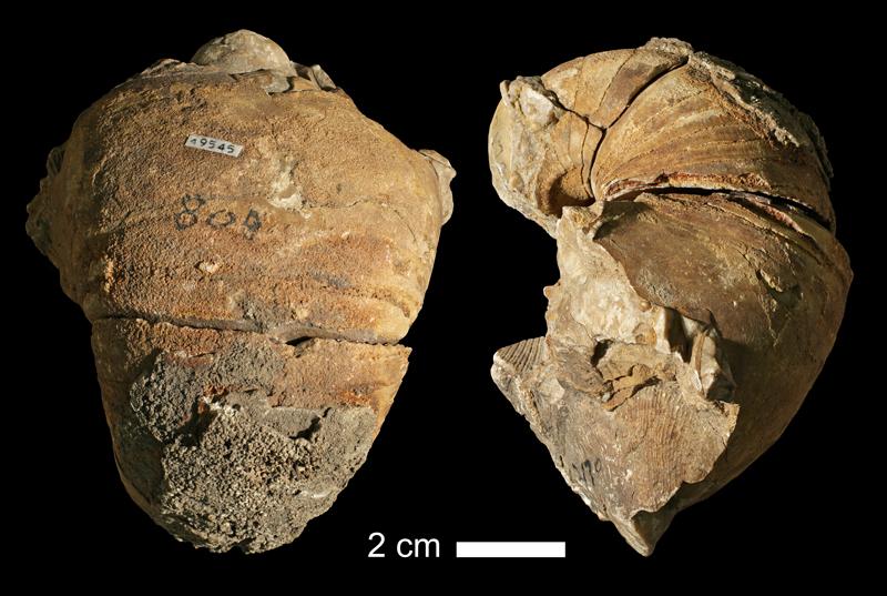 <i>Solenochilus sp.</i> from the Coal Measures of Jackson County, Missouri (KUMIP 49545).