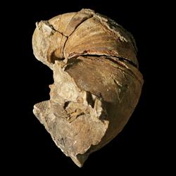 Solenochilus