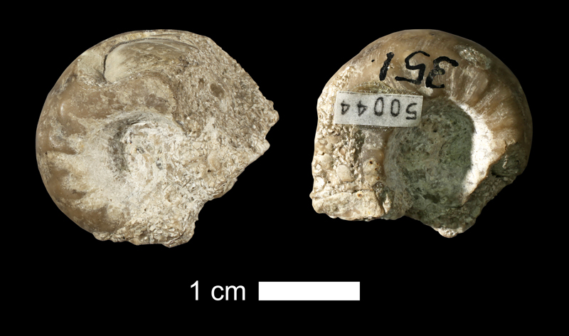 <i>Metacoceras cavatiforme</i> from the Drum Limestone of Wyandotte County, Kansas (KUMIP 50044).