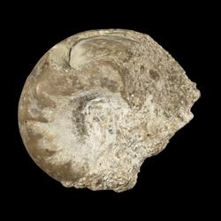 Metacoceras cavatiforme