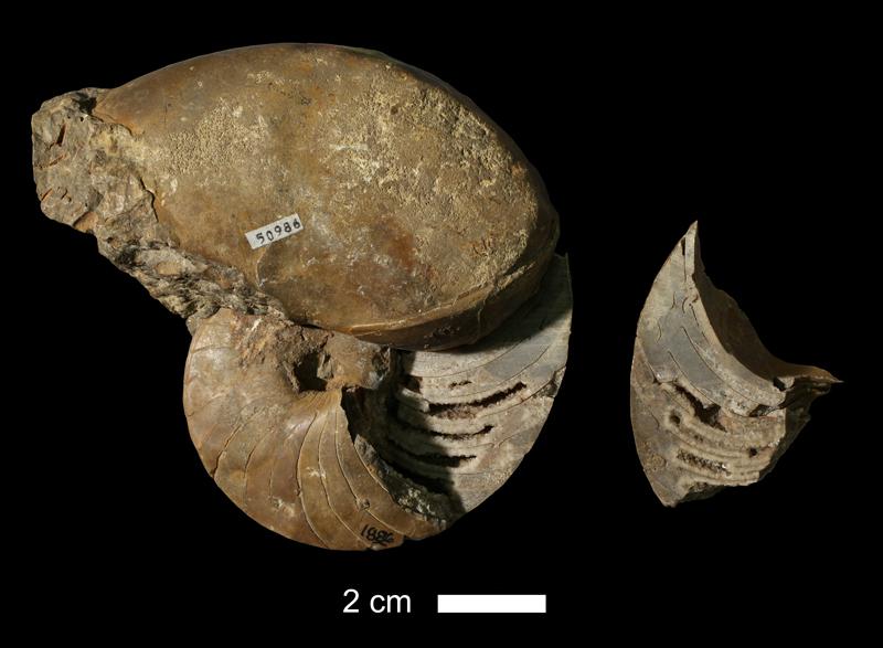 <i>Domatoceras kleihegei</i> from the Dennis Limestone of Kansas City (state unknown) (KUMIP 50986).