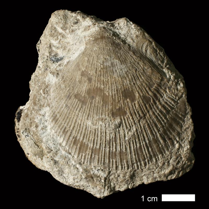<i>Aviculopecten sumnerensis</i> from the Coal Measures of Jackson County, Missouri (KUMIP 57023).