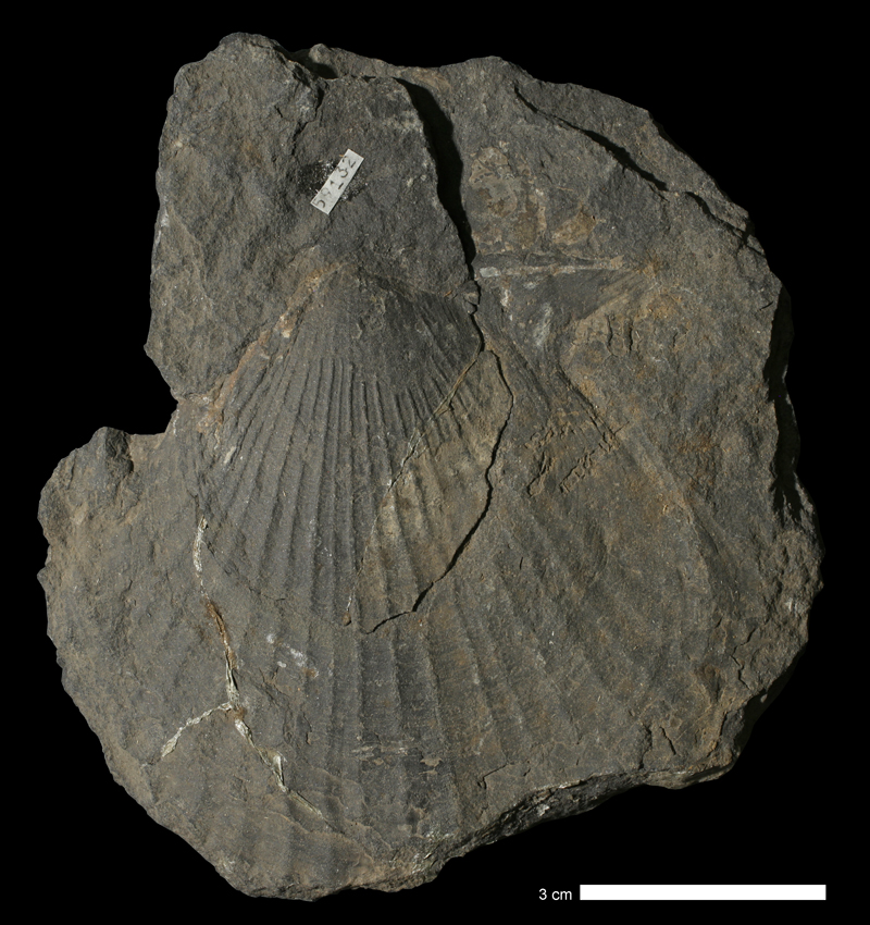 <i>Limipecten morsei</i> from the Stanton Limestone of Leavenworth County, Kansas (KUMIP 59132).