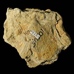 Aviculopecten coxanus