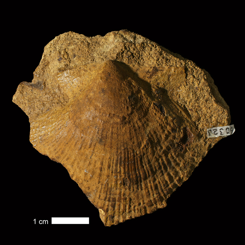 <i>Aviculopecten coreyanus</i> from the Deer Creek Limestone of Douglas County, Kansas (KUMIP 60323).