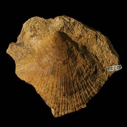 Aviculopecten coreyanus
